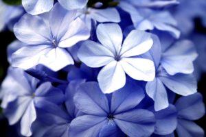 violet-flowers-1361943